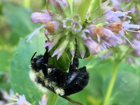 Beneficial Pollinators in the Garden