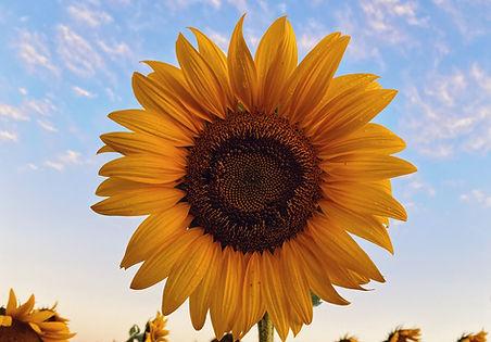 sunflower%20field%20under%20blue%20sky%2