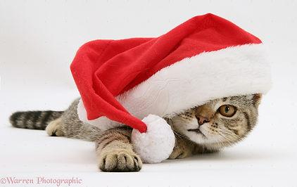 10376-tabby-cat-in-santa-hat-white-backg