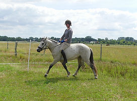 Violamboss Iko Iko Wallach angeritten 4 jährig Connemara Pony Gestüt Violamboss