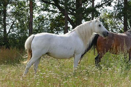 Violamboss Beauty Star Mariam Zuchtstute Connemara Pony Gestüt Violamboss