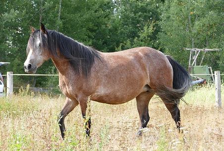 Violamboss Beauty Naemi Zuchtstute Connemara Pony Gestüt Violamboss