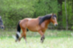 Violamboss Tanemund , Connemara Pony , Hengst