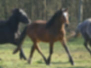 Violamboss Tanemund Hengst 3 jährig Connemara Pony zu verkaufen