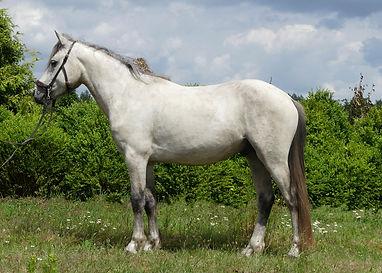 Violamboss Iko Iko Wallach 4 jährig zu verkaufen Connemara Pony Gestüt Violamboss