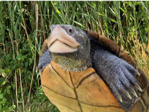 Tina Turtle