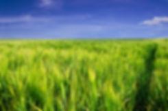 Сок ростков пшеницы в Екатеринбурге