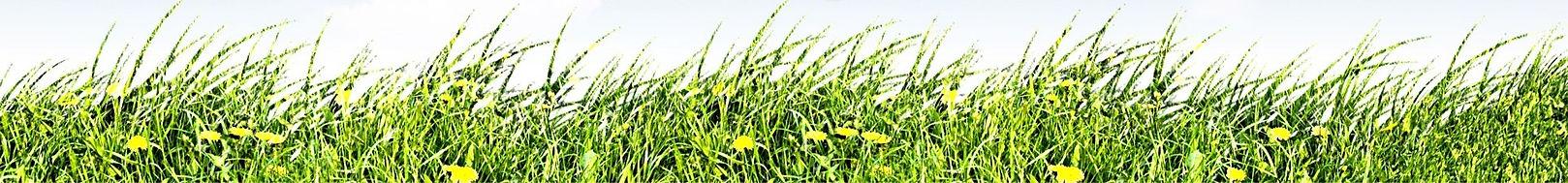 живые ростки пшеницы и хлорофилл