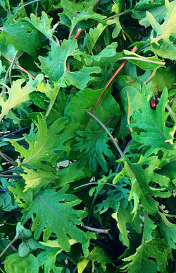 kale chard