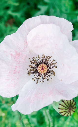 Shirley Poppy Mother-of-Pearl
