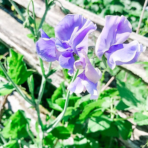 Sweet Peas 'Our Harry'