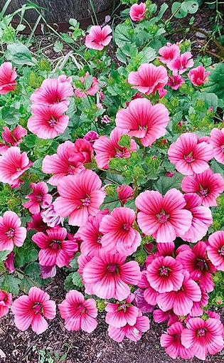 Malope 'Queen Pink'