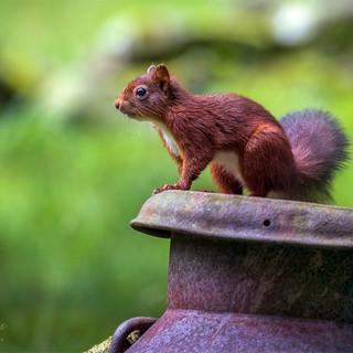 Squirrel on A Milk Churn