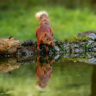 Red Squirrel in the Mirror