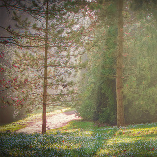 Snowdrop Woods