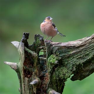 Chaffinch On A Tree Stump