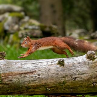 Running Red Squirrel