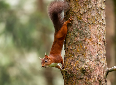 A Day with Red Squirrels  -September 2020