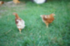 Baby egg laying hens