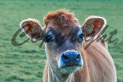 Jersey Cow (7)