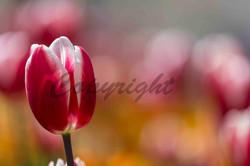Flowers, Nature (20)