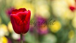 Flowers, Nature (19)