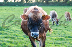 Jersey Cow (1)