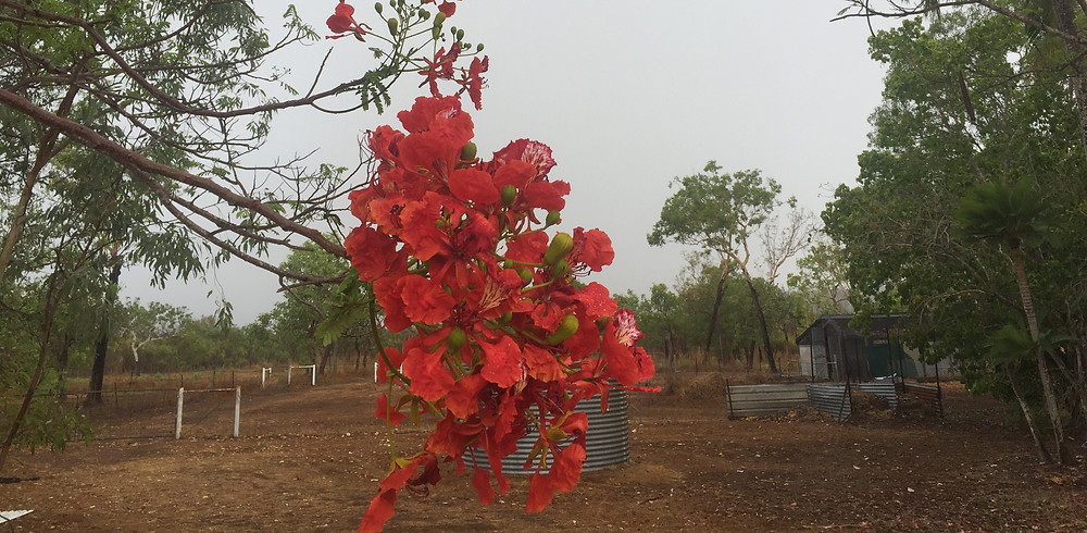 The Poinciana flowering after the Storm