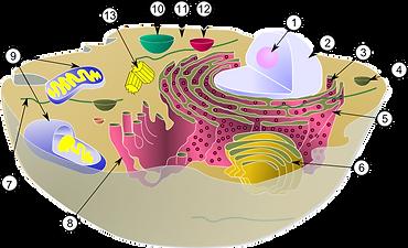 800px-Biological_cell.svg.png