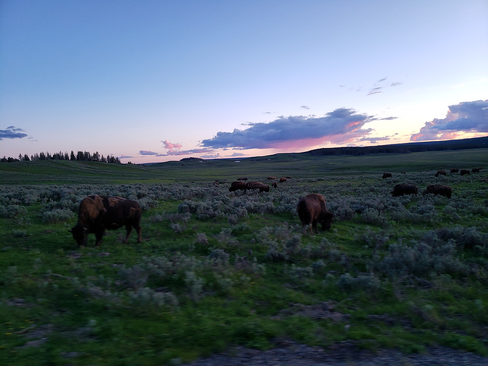 buffalo roaming in yellowstone national park at sunset