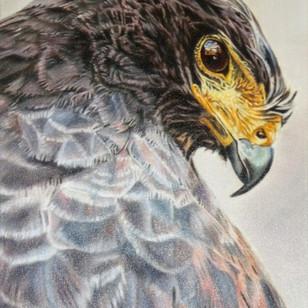 Black Harrier Hawk