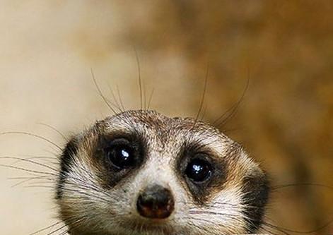 Meercat Head