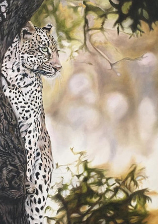 Leopard in Marula Tree