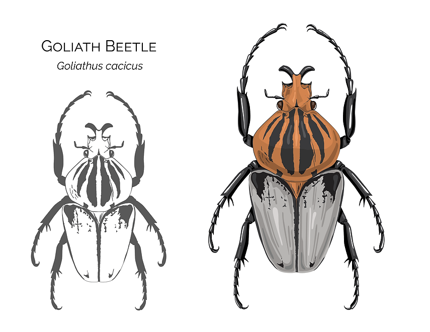Goliathus_Vector-01.png
