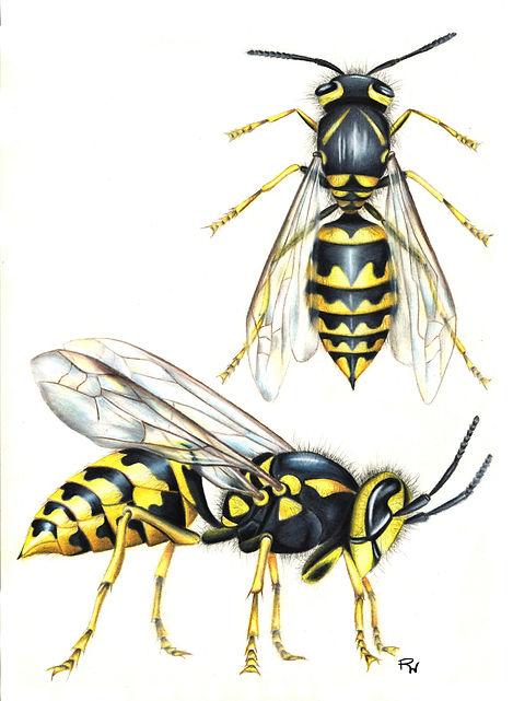 13_Hornet Wasp.jpg