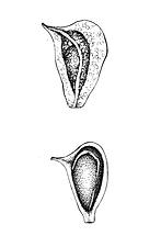 Alisma_leaf_seed_illustrations_V02.png