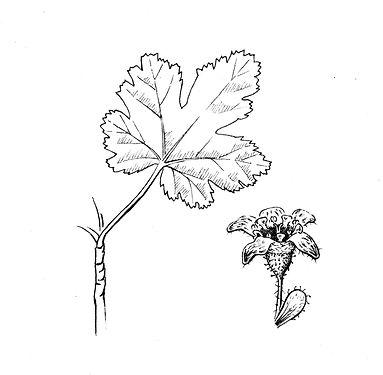 Ribes_erythrocarpa_V02.jpg