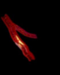Blood_Vessel_V01.png