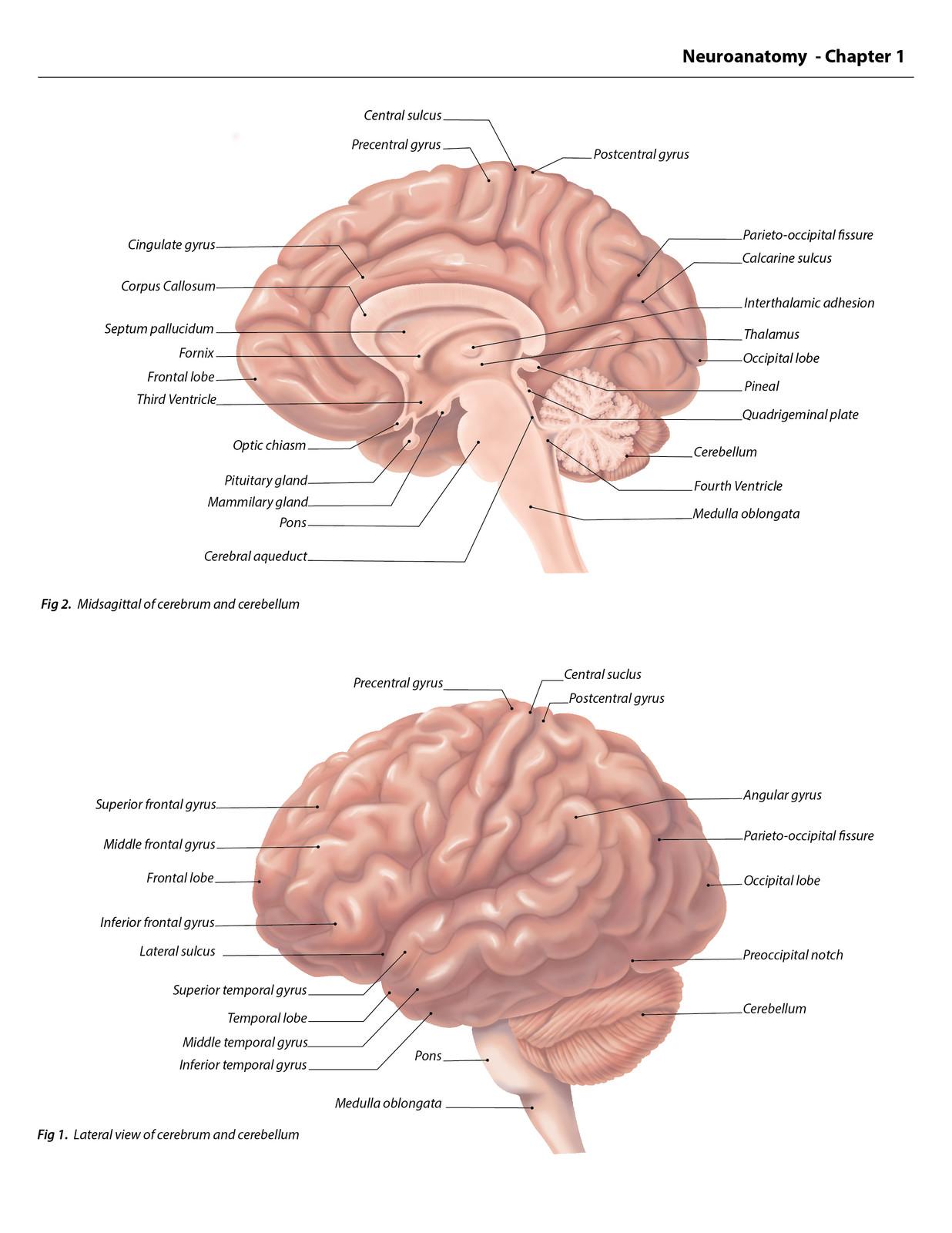 Cerebrum and Cerebellum of a Human Brain | Biomedical Illustrator ...