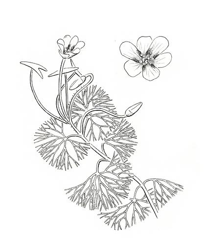 Herbarium Drawings-5.png
