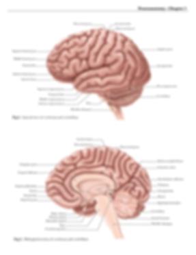 Labeled_Cerebrum_Cerebellum_V03-01.png