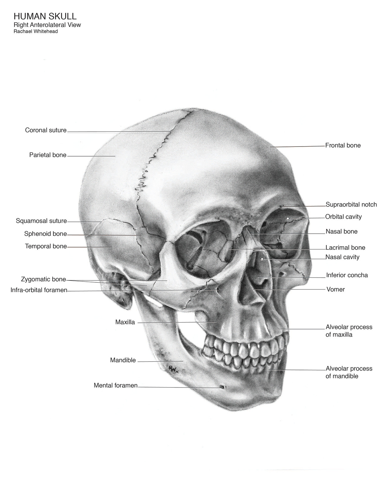 Right Antererolateral View Of A Human Skull