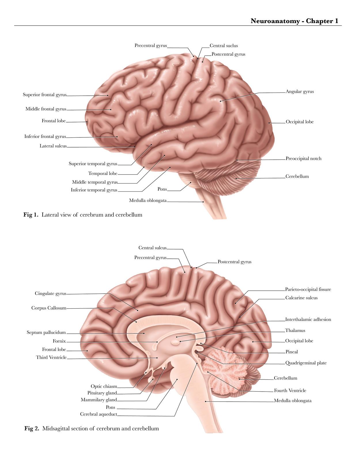 Midsagittal View Of Brain Tollebild