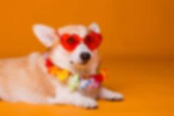dog breed Corgi in sunglasses and Hawai