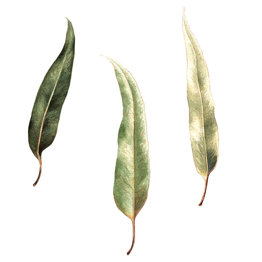 eucalyptus-intense.jpg