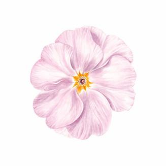 Primelblüte rose