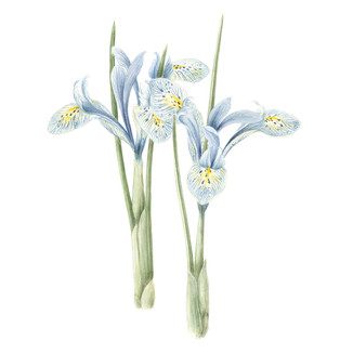 Zwerg Iris