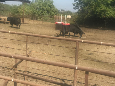 """Cattle utilizing the """"Cattle Saver"""""""