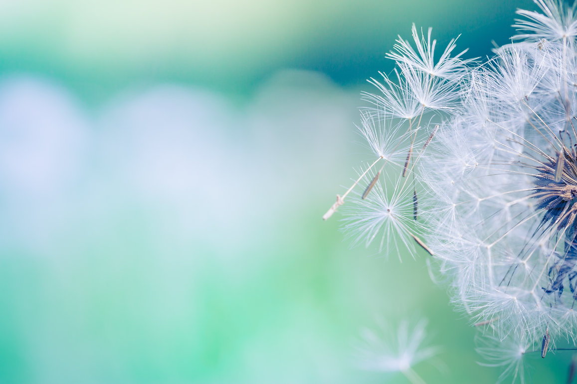 Closeup of dandelion on natural backgrou
