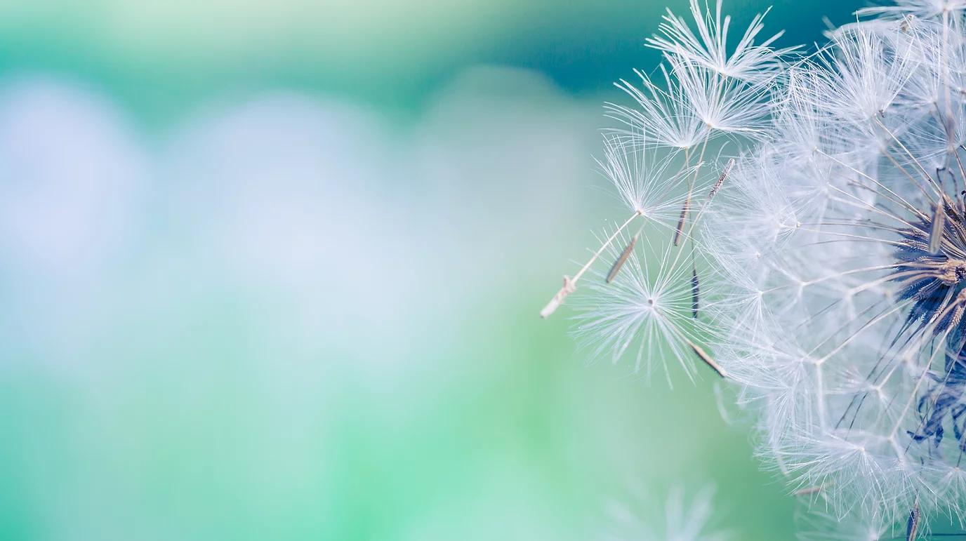 Closeup of dandelion on natural backgrou
